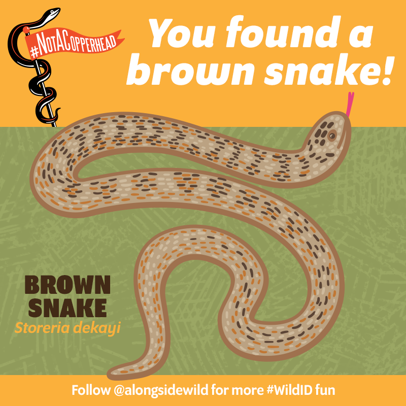 notacopperhead ID brown snake